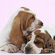 Basset Hound Puppies Art Print