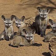 Bat-eared Fox Pups Art Print