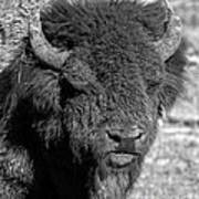 Battle Worn Bull Art Print
