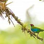 Bay-headed Tanager Art Print