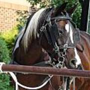 Bay Pinto Amish Buggy Horse Art Print