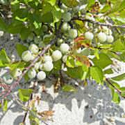 Beach Plum - Prunus Maritima - Island Beach State Park Nj Art Print