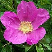 Pink Beach Rose Fully In Bloom Art Print