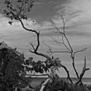 beach tree BW Art Print