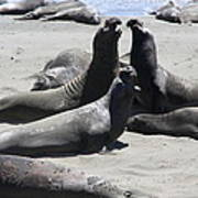 Beachmasters - Elephant Seals Art Print