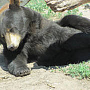 Bear At Rest Art Print