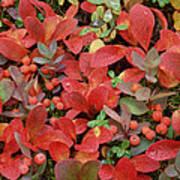 Bearberry In Autumn Yukon Canada Art Print