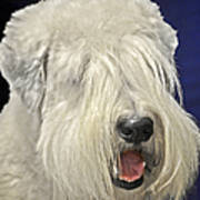 Bearded Collie - The 'bouncing Beardie' Art Print by Christine Till