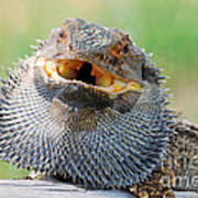 Bearded Dragon In Defense Mode Art Print by Christopher Edmunds