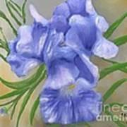 Bearded Iris Blue Iris Floral  Art Print