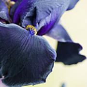Bearded Iris Interpol Art Print