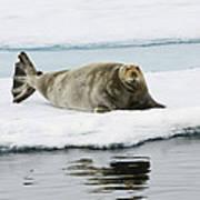 Bearded Seal On Ice Floe Norway Art Print