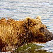 Bear's Eye View Of Swimming Grizzly In Moraine River In Katmai Art Print