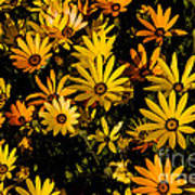 Beautiful African Daisies Art Print