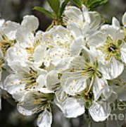 Beautiful Apple Blossoms Art Print