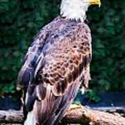 Beautiful Bald Eagle Art Print by Jason Brow