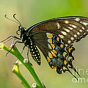 Beautiful Black Swallowtail Art Print