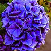 Beautiful Blue Hydrangea Art Print