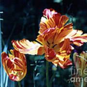 Gorgeous Tulip Art Print
