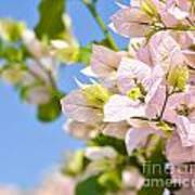 Beautiful Bougainvillea Flowers Against Blue Sky Art Print