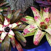Beautiful Bromeliads Art Print