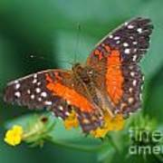 Red Anartia Butterfly 1 Art Print