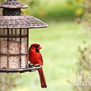 Beautiful Cardinal Art Print