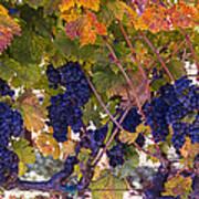 Beautiful Grape Harvest Art Print