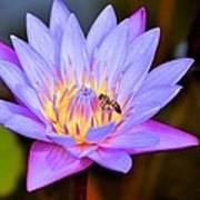 Beautiful Lily And Visiting Bee Art Print