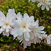 Beautiful Magnolias 2 Art Print by Victoria Sheldon