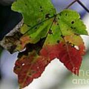 Beautiful Maple Leaf Art Print