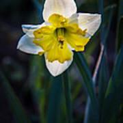 Beautiful Narcissus Art Print