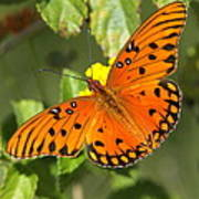 Beautiful Orange Butterfly - Gulf Fritillary Art Print