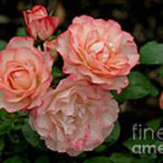 Beautiful Peach Roses Art Print