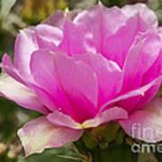 Beautiful Pink Cactus Flower Art Print