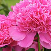 Beautiful Pink Peony Albert Crousse Paeonia Lactifora Albert Cro Art Print