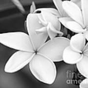 Beautiful Plumeria In Black And White Art Print