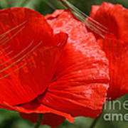 Beautiful Poppies 10 Art Print