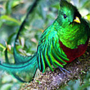 Beautiful Quetzal 4 Art Print by Heiko Koehrer-Wagner