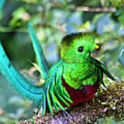 Beautiful Quetzal 5 Art Print