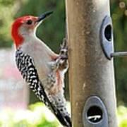Beautiful Red Belly Woodpecker Jr Art Print