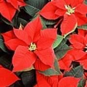 Beautiful Red Poinsettia Christmas Flowers Art Print