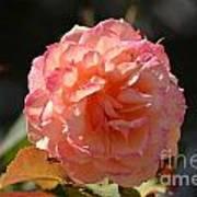 Beautiful Rose Blossom Art Print