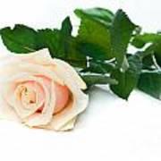 Beautiful Rose On White Art Print