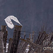 Beautiful Snowy Owl Flying Art Print