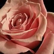 Beautiful Peach Rose Art Print