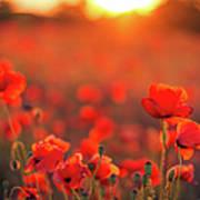 Beautiful Sunset Over Poppy Field Art Print