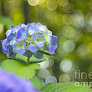 Beautiful Violet Hydrangea With Green Leaves And Bokeh Lights Art Print