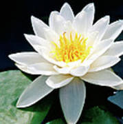 Beautiful Water Lily Capture Art Print