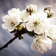 Beautiful White Blossoms Art Print